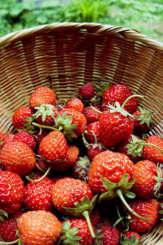 イチゴ収穫祭