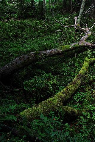 倒木をくるむ苔のやわらかさ