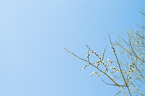 里まで下りて、ようやく見つけた春は、バッコヤナギ。